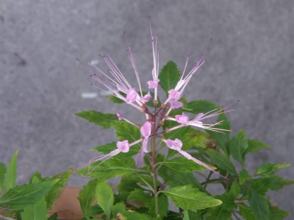 クミスクチンの花