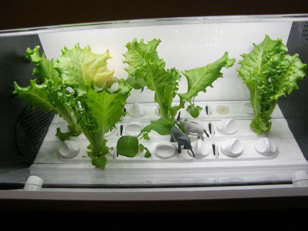 水耕栽培の様子