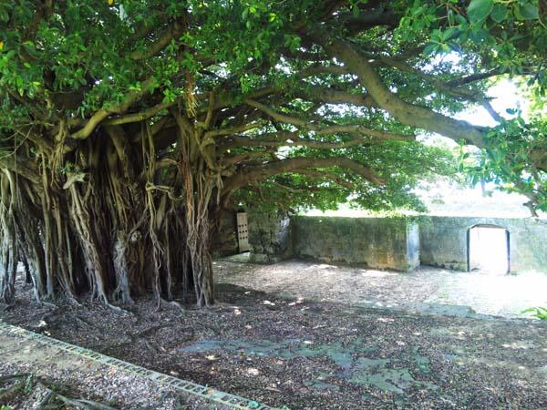 崇元寺のガジュマル
