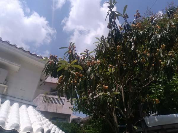 ビワの実よりもビワの葉っぱの薬効成分が人気のワケ