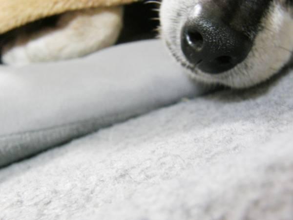 ミニピンの鼻