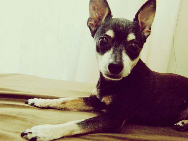 ミニチュアピンシャー15才!年をとってからの愛犬の可愛いところ