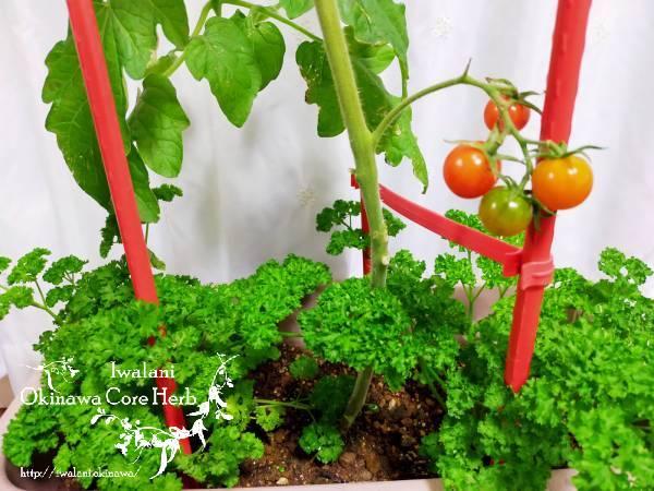 パセリとトマト